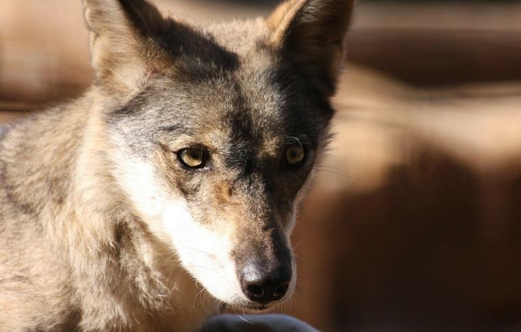 coyote_1465930597